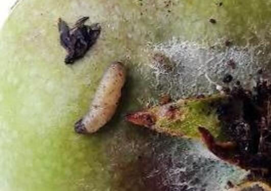 A Tortricid oth larva on an apple
