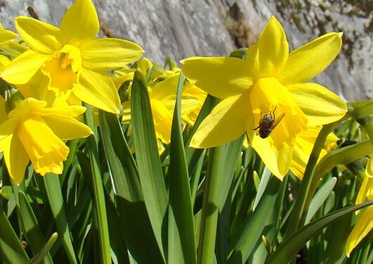 Påskeliljer i Botanisk hage