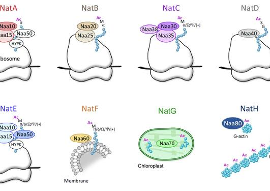 The eukaryotic NAT-machinery