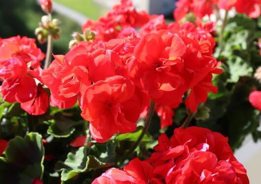Nærbilde av rød pelargoniablomst