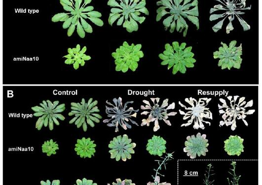 New hope for creating drought-resistant plants