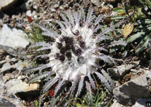 Photo of the plant Saussurea ramchaudharyi