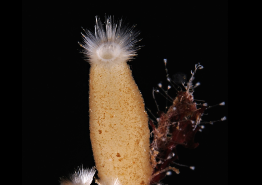 Her ses et individ av svampen Sycon ciliatum som blant annet vokser på tare i sjøen rett utenfor Bergen. Det var i en slik svamp at forskerne klarte å finne ParaHox-genet.