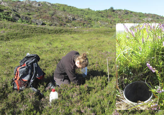 Tessa Bargmann collecting beetle samples from a pit-fall trap on Lygra