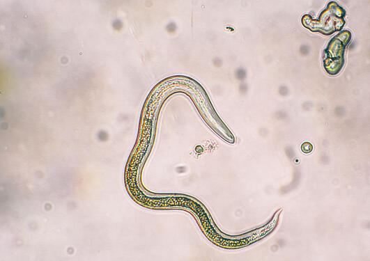 Intestinal worm