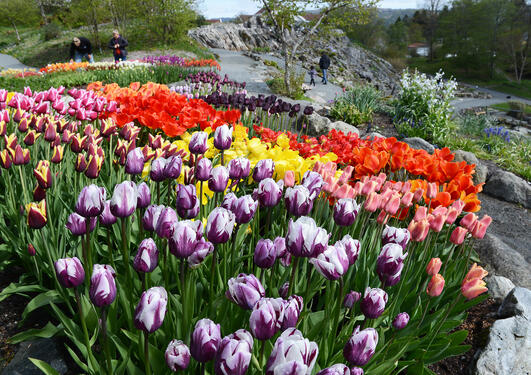 Tulipanblomstring i Botanisk hage på Milde