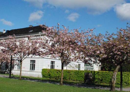 Bilde av kirsebærblomstring
