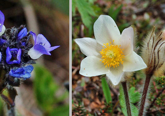 Veronica alpina and Pulsatilla vernalis