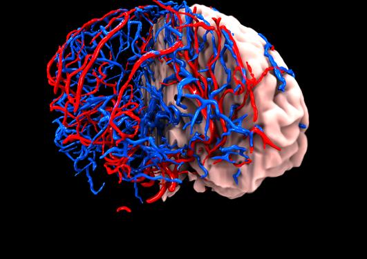 Hjerne og segmenterte blodkar