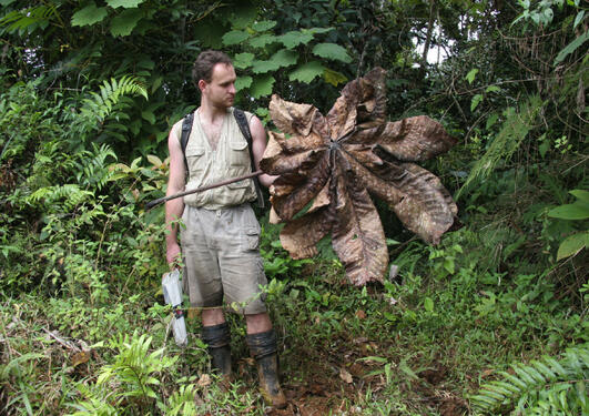 A man holding a large dead palm frond to collect weevils