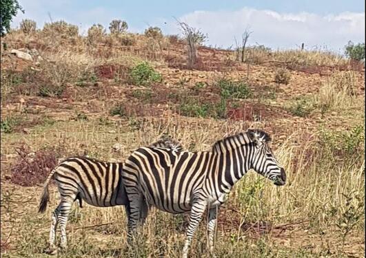 Sebraer i Sør-Afrika