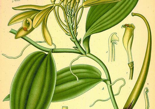 Vanilla planifolia fra Köhler, F.E., Medizinal Pflanzen, vol. 2 (1890).