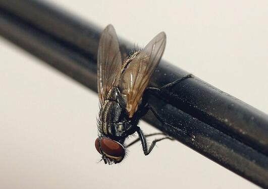 Vi vet at husfluen er en flink plageånd. Men hvilke andre kvaliteter har den?