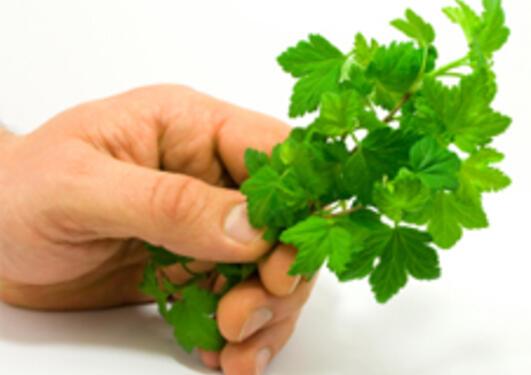 Bringebærblader er en type urte man bør styre unna om man tidligere har tatt...