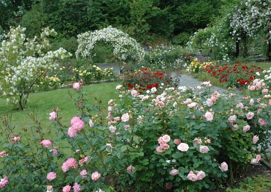 Moderne roser i forgrunnen, bueganger til villrosene og de historeike rosene...