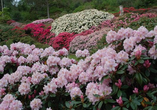 Ekte rhododendron blomstrer på nedsiden av vegen