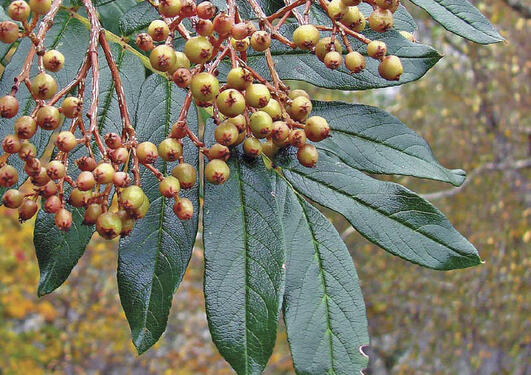 Himalayarogn, Sorbus insignis (W-1985.82), har overlevd i det luneste partiet...