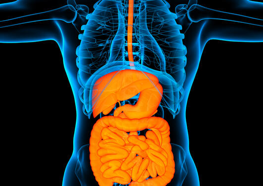 Illustration; gastrointestinal system