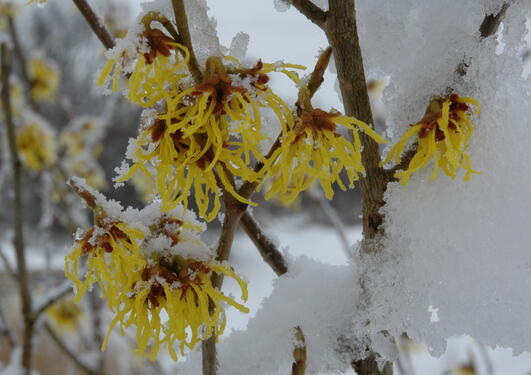 Trollhassel blomstrer midt på vinteren, også i snø og kulde.
