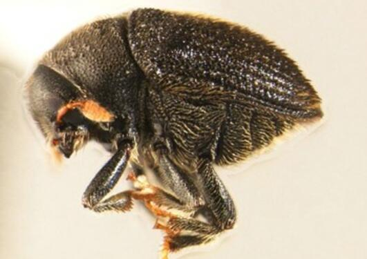 A bark beetle in the collections of Bergen Museum