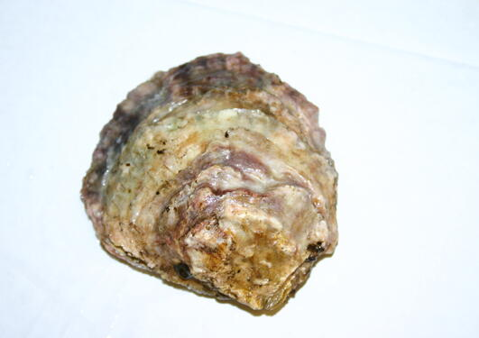 The European flat oyster, Ostrea edulis