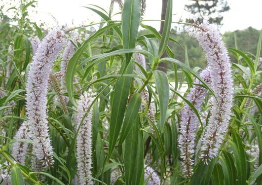 Hebe salicifolia med sine lange pileforma blad og elegante hengende bomer,...