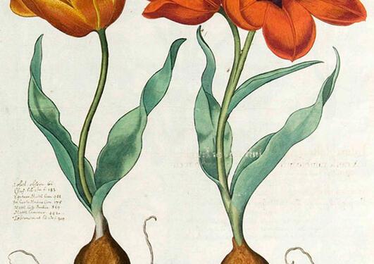 Tulipa gesneriana fra Bessler, Basilius, Hortus Eystettensis, vol. 1 (1620).
