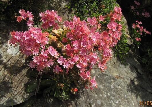 Siskiyou Lewisia (Lewisia colyledon) in a fine crevice near the Heather...
