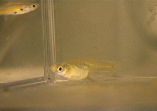The female guppy in the front is the social clue for the male guppy in the...