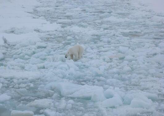 Polar bear on sea ice in Storfjorden, Eastern Svalbard, April 2006.