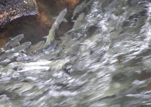 Salmon swimming upstream. Photographer: Wknight94. web page: http://en...