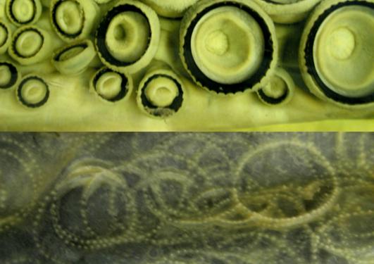Spermhvalskinn med arr etter sugekopper fra kjempeblekksprut