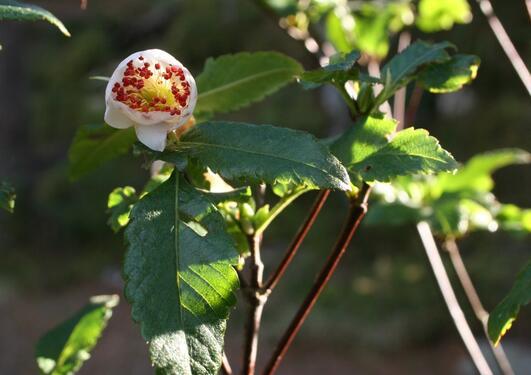 Eucryphia glutinosa med blomeknopp som viser dei karakteristiske raude...