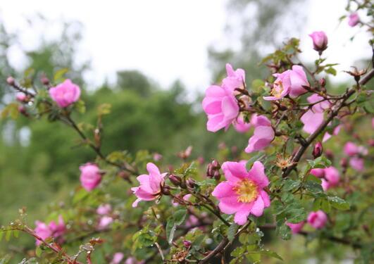 Rosa elegantula 'Persetosa' er en flott villrose