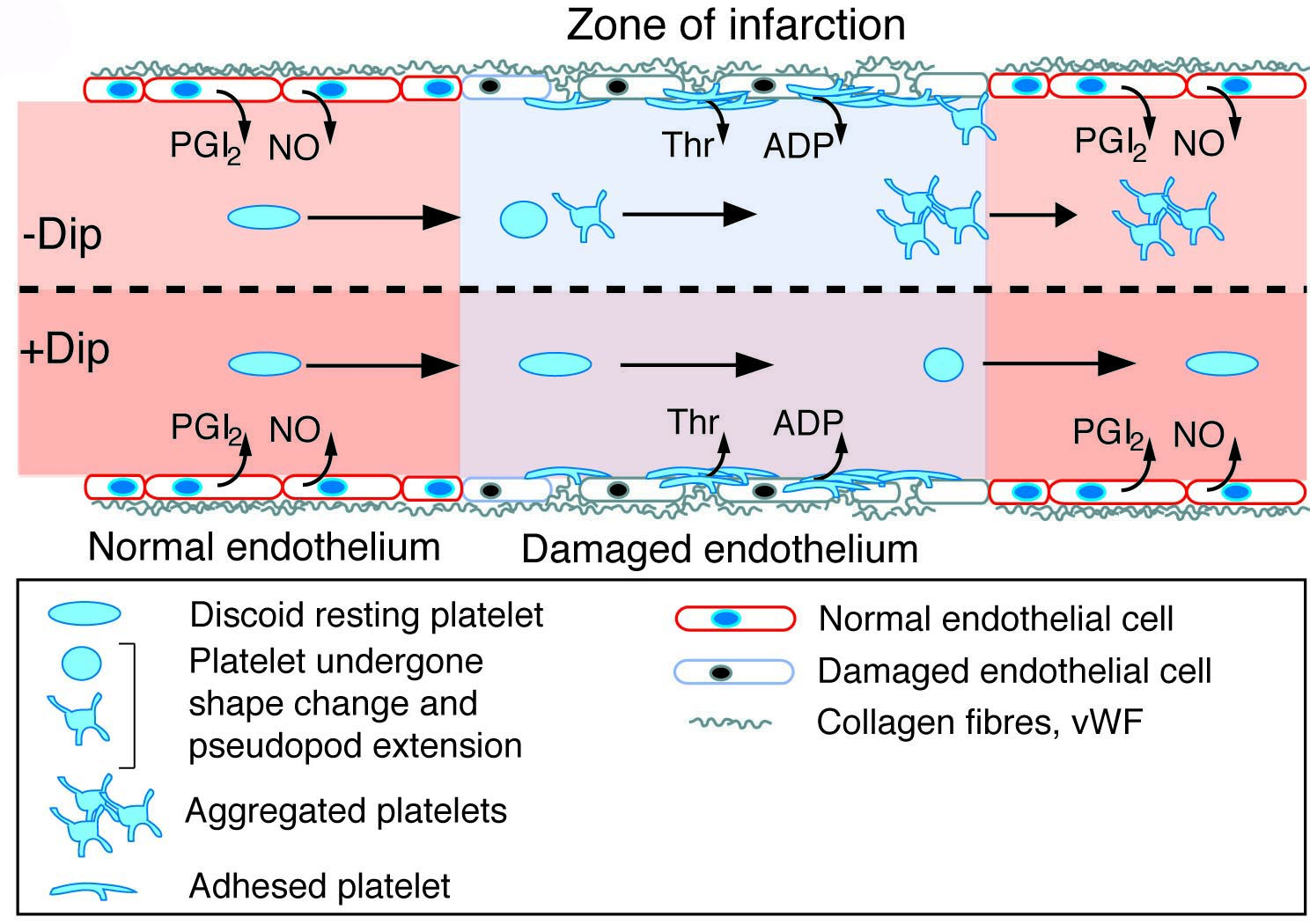 tizanidine mechanism of action