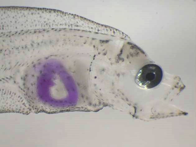 a better understanding of the lifecycle of a fish The western blue groper is an interesting fish species  information is used to gain an understanding of the  in much better shape,.
